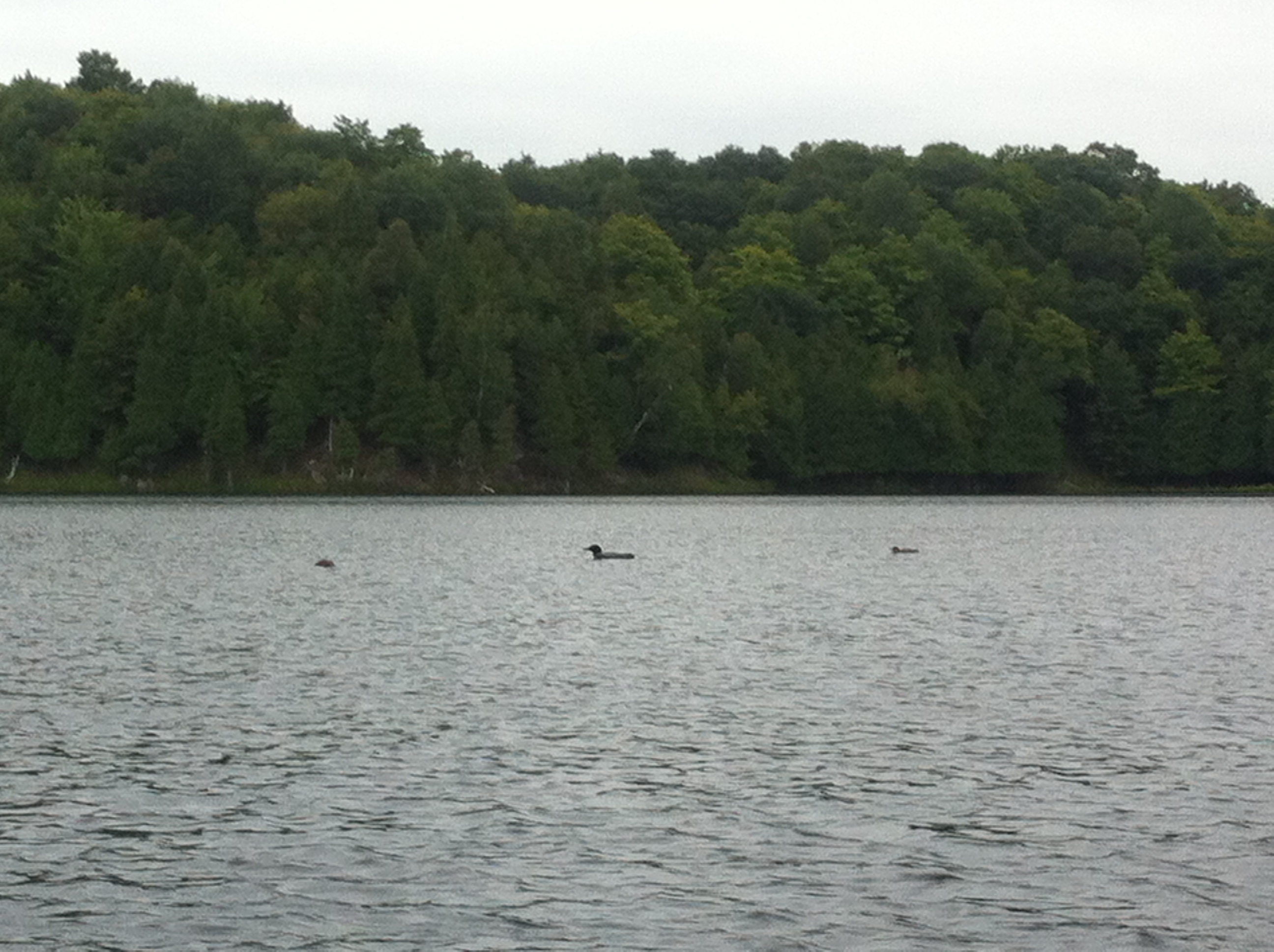 Loons. I must be in Canada.